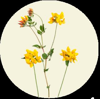 Almindelig Kællingetand, Lotus corniculatus