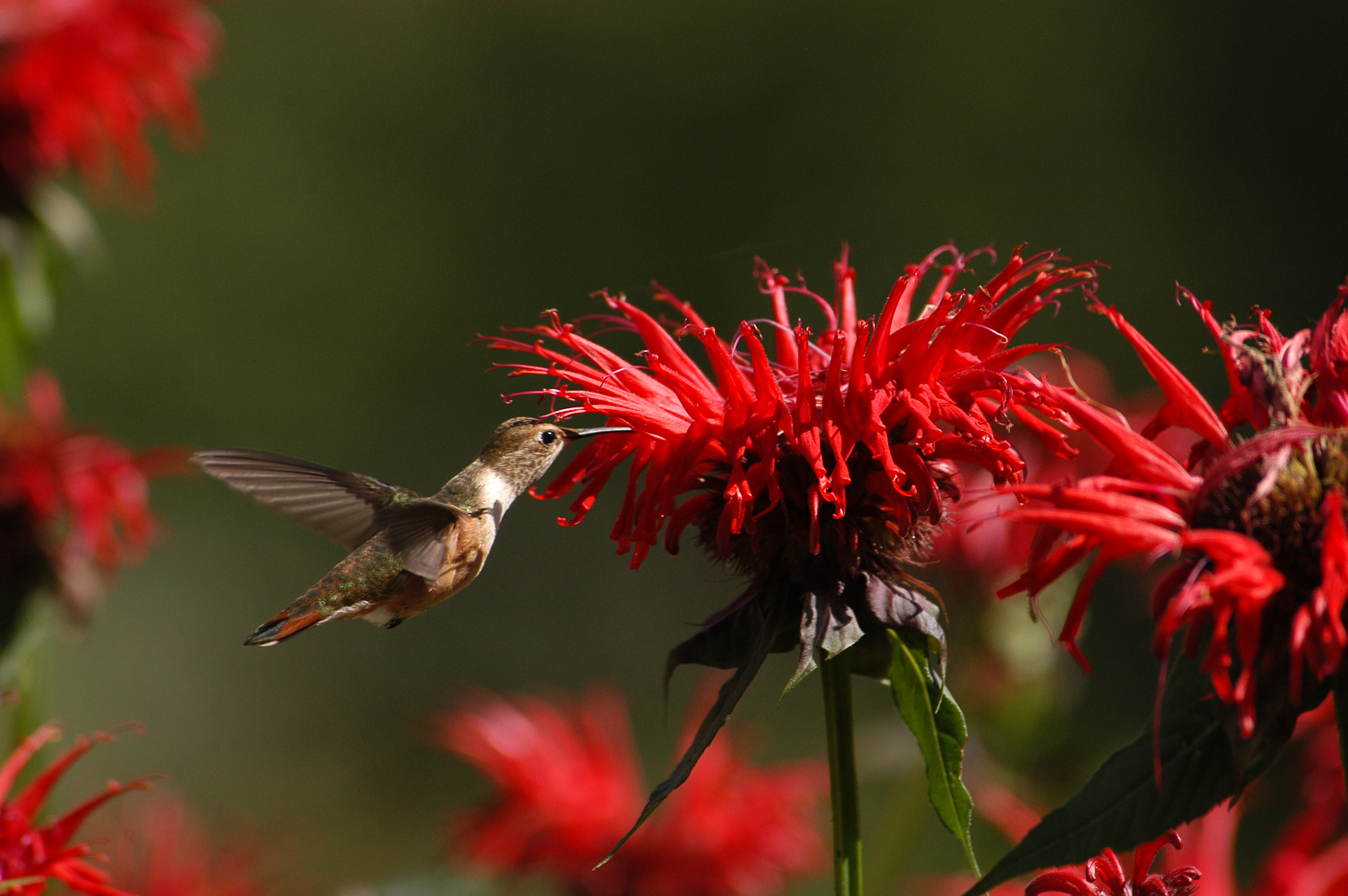 Bee Balm Bliss