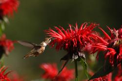Bee Balm Bliss