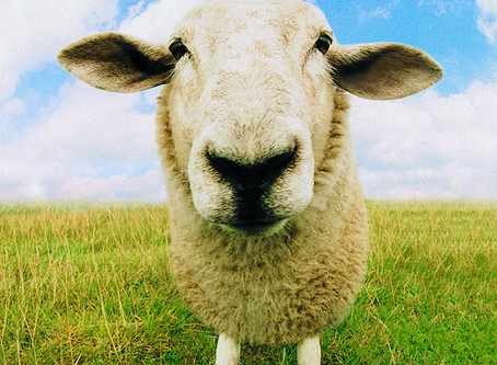 Does the Shepherd have a Flock or One Sheep?