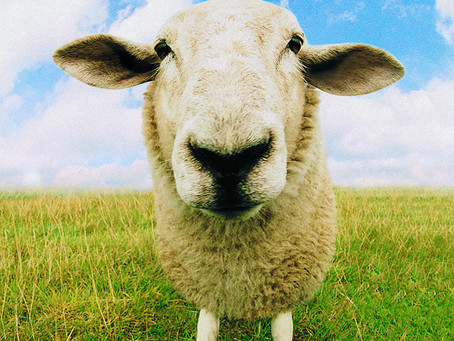 Diatomaceous Earth for Sheep - Benefits & Uses
