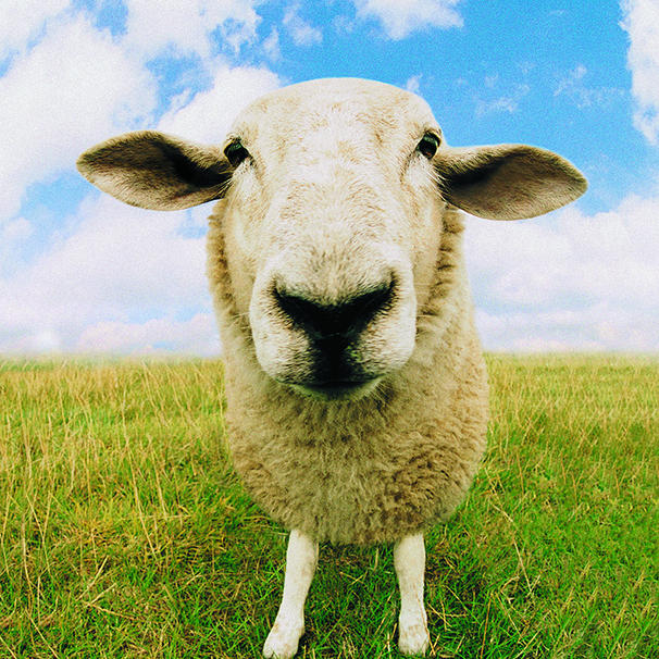 Sheep pupils are shaped like rectangles.