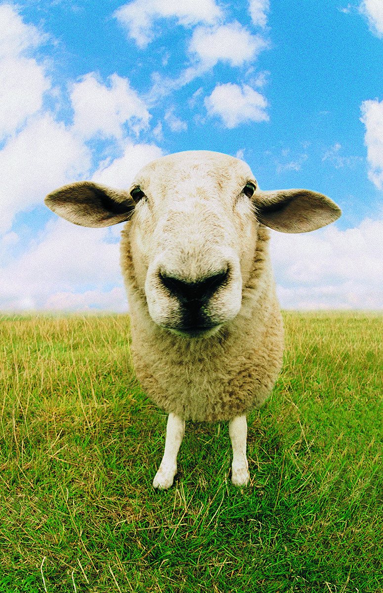 Diatomaceous Earth uses and benefits for sheep
