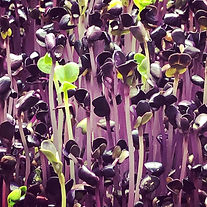 PurpleRadish.jpg
