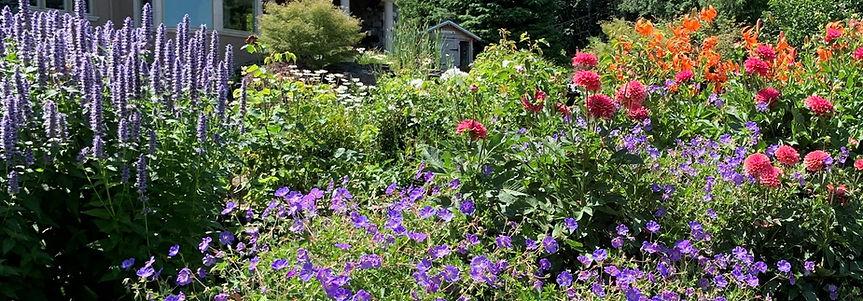 dahlia bed agastache dahlia geranium tiger lily cropped.jpeg