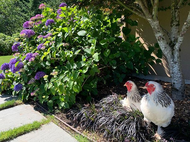 chickens with mondo grass purple hydrangea.jpeg