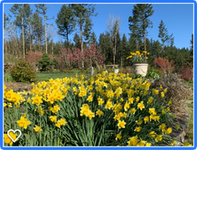 daffodills pot black tulip magnolia.png