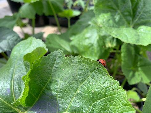 IMG_5436 ladybug on leaf.jpg