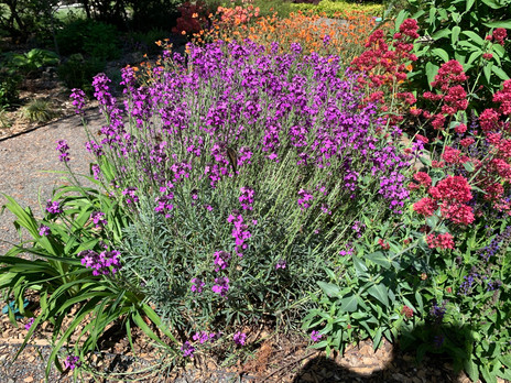 wallflower centranthus geum GH closeup.jpeg