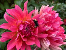 dahlia with bumblebee.jpeg