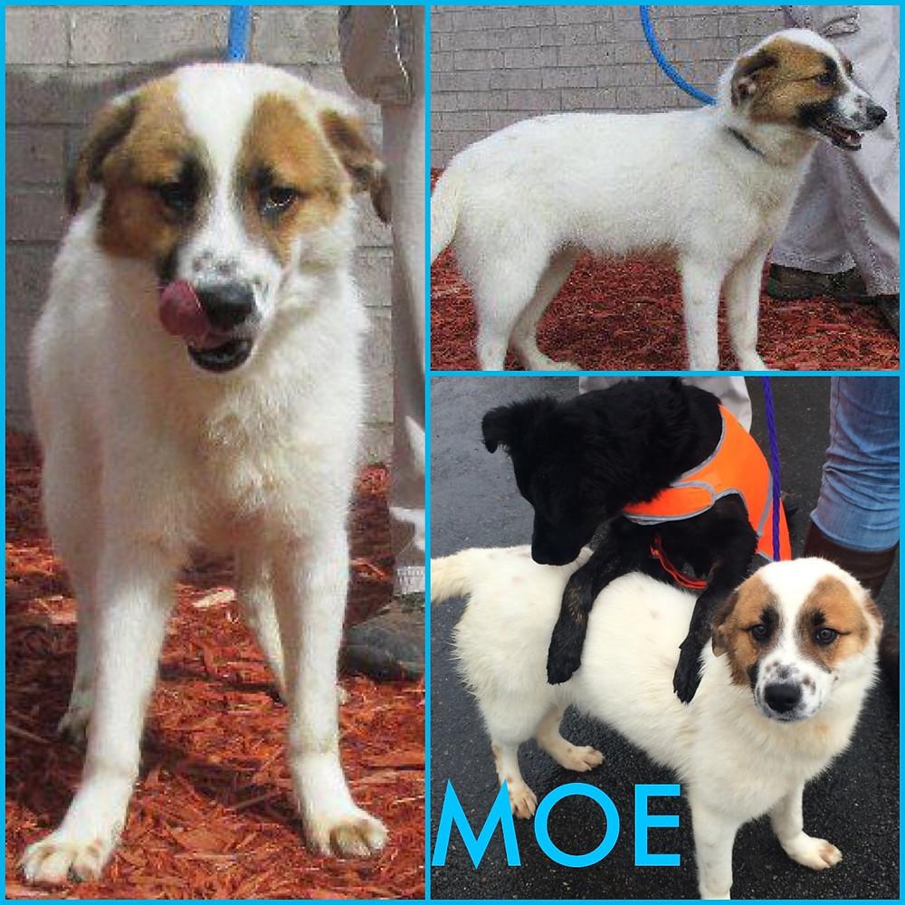 Moe_Pet ID# 33583_Dog of the Week_Little Rock Animal Village_Friends of the Animal Village.jpg