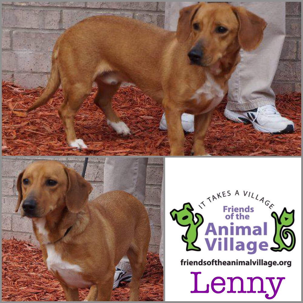 Lenny_Pet ID #34020_Dog of the Week_Little Rock Animal Village_Friends of the Animal Village.jpg