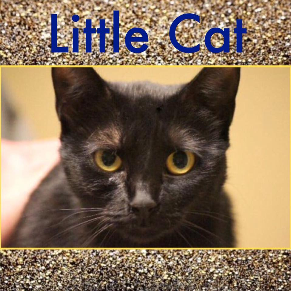 Little Cat_Pet ID# 33509_Little Rock Animal Village_Friends of the Animal Village.jpg
