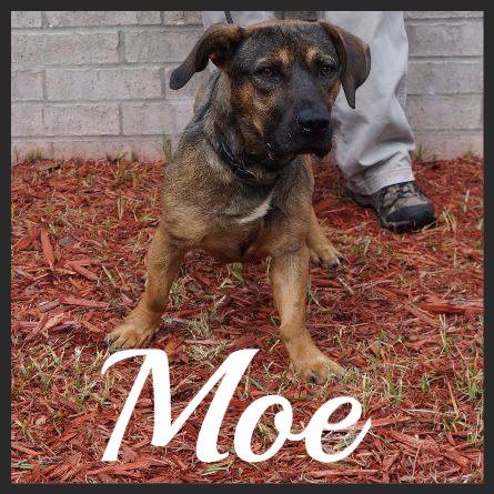 Moe (Pet ID# 36194)_Dog of the Week_Little Rock Animal Village_Friends of the Animal Village.jpg