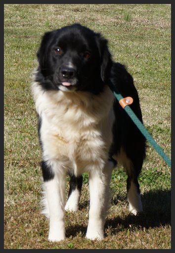 Calli (Pet ID# 32914)