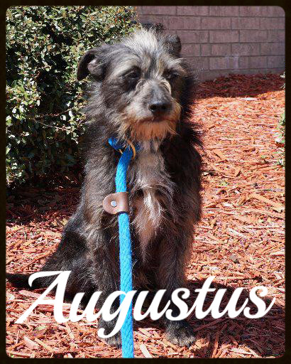 Augustus_Pet ID# 34299_Dog of the Week_Little Rock Animal Village_Friends of the Animal Village.jpg