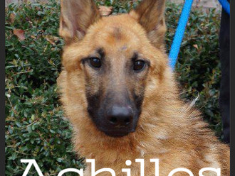 Meet Achilles! FAV's Dog of the Week