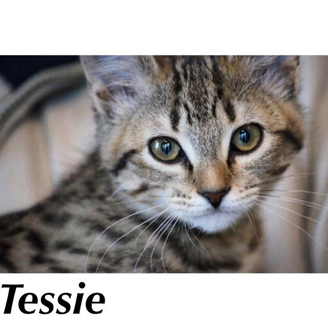Tessie_Pet ID# 33390_Little Rock Animal Village_Friends of the Animal Village.jpg