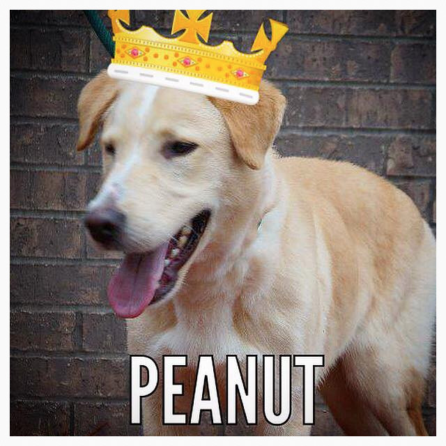 Peanut_Pet ID# 33325_Dog of the Week_Little Rock Animal Village_Friends of the Animal Village.jpg