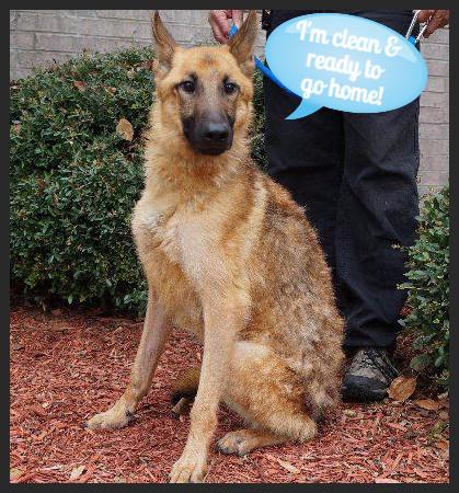 Achilles (Pet ID# 36608)_Dog of the Week_Little Rock Animal Village_Friends of the Animal Village.jpg