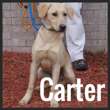 Carter (Pet ID# 37232)_Dog of the Week_Little Rock Animal Village_Friends of the Animal Village.jpg