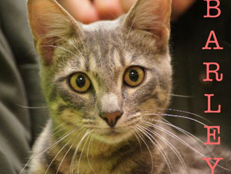 Meet Barley! FAV's Cat of the Week