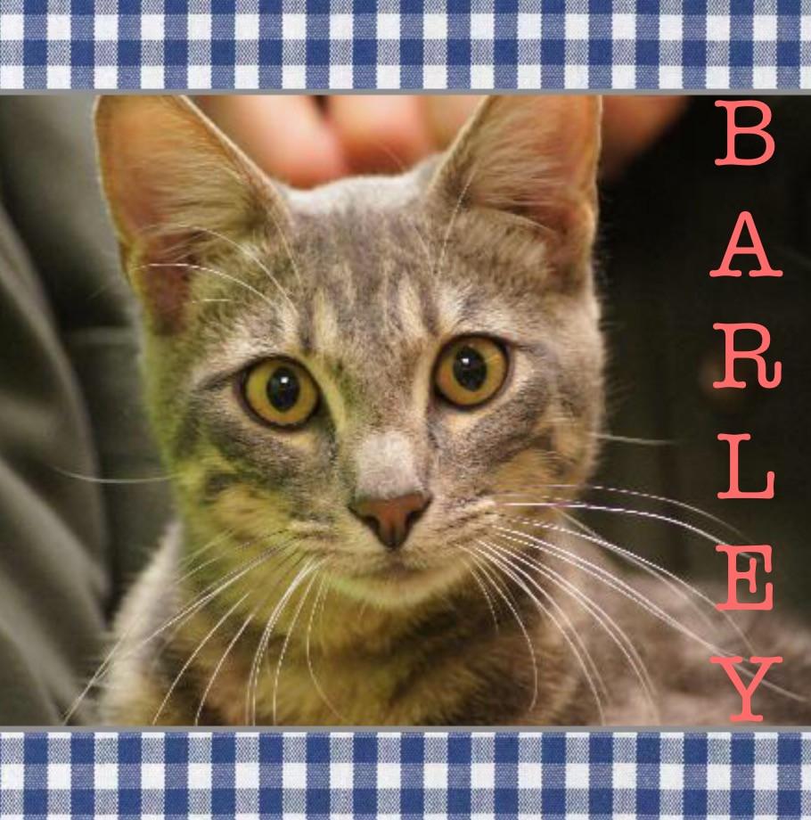 Barley_Pet ID# 34119