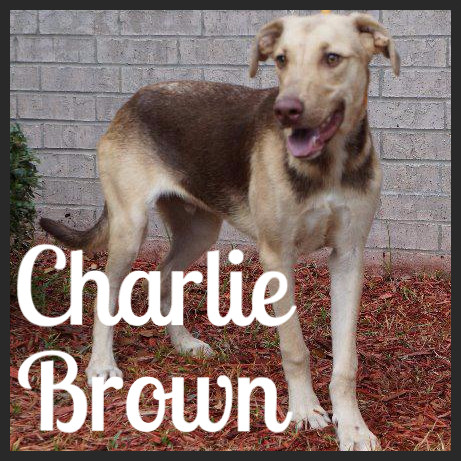 Charlie Brown (Pet ID# 36235)_Dog of the Week_Little Rock Animal Village_Friends of the Animal Village.jpg