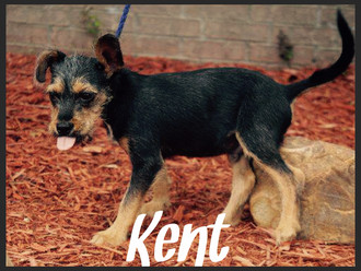 Meet Kent! FAV's Dog of the Week