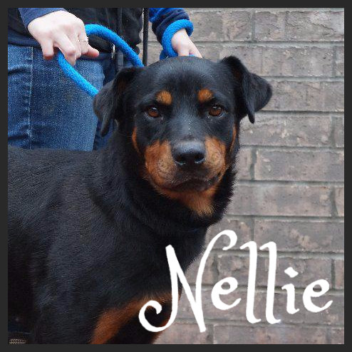 Nellie (Pet ID# 36967)_Dog of the Week_Little Rock Animal Village_Friends of the Animal Village.jpg