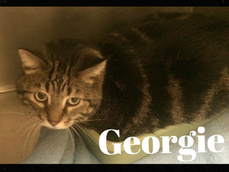 Meet Georgie! FAV's Cat of the Week