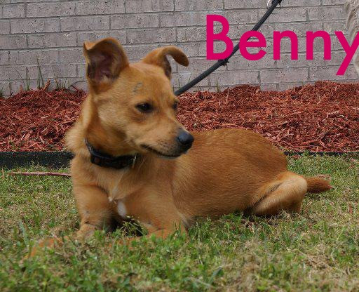 Benny_Pet ID# 34461_Dog of the Week_Little Rock Animal Village_Friends of the Animal Village.jpg