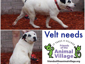 Meet Velt! FAV's Dog of the Week