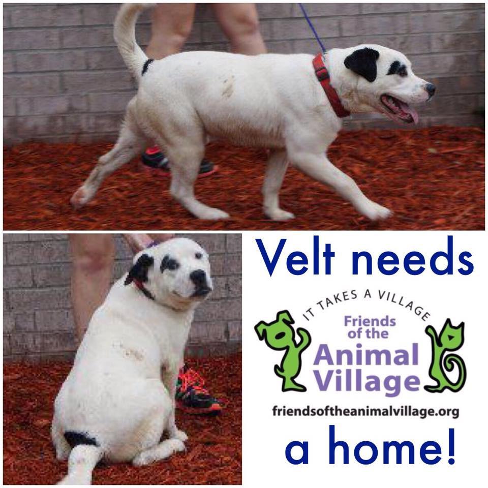 Velt_Pet ID# 33995_Dog of the Week_Little Rock Animal Village_Friends of the Animal Village.jpg