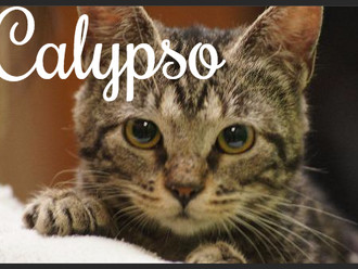 Meet Calypso! FAV's Cat of the Week