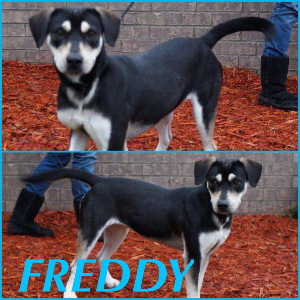 Freddy_Pet ID#33357_Friends of the Animal Village_Little Rock Animal Village