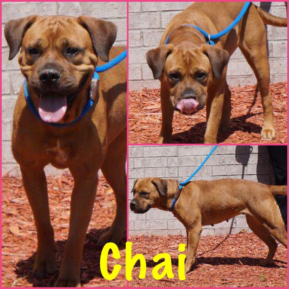 Chai_Pet ID# 34281_Dog of the Week_Little Rock Animal Village_Friends of the Animal Village.jpg
