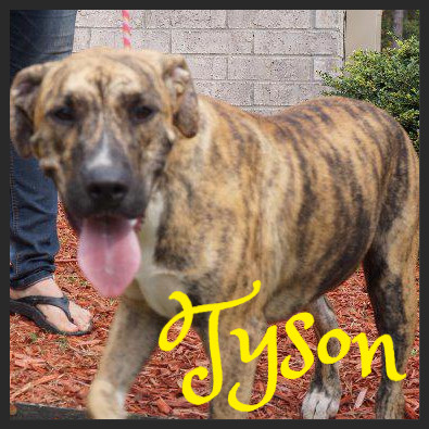 Tyson (Pet ID# 36749)_Dog of the Week_Little Rock Animal Village_Friends of the Animal Village.jpg