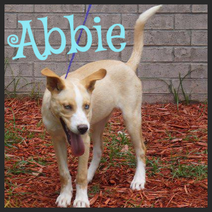 Abbie (Pet ID# 34728)_Dog of the Week_Little Rock Animal Village_Friends of the Animal Village.jpg