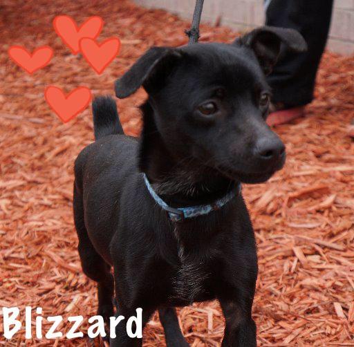 Blizzard_Pet ID# 34111_Dog of the Week_Little Rock Animal Village_Friends of the Animal Village.jpg