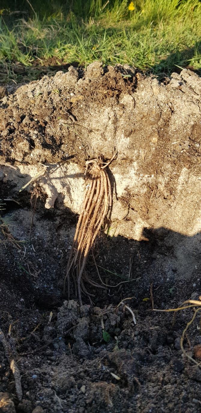 Création de la butte des asperges
