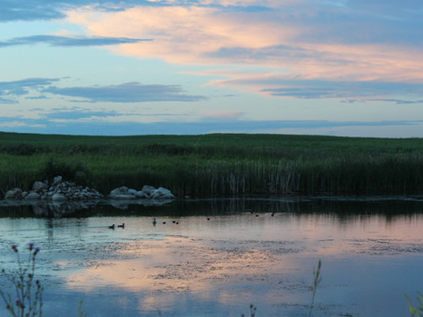 Sloughs and Ducks