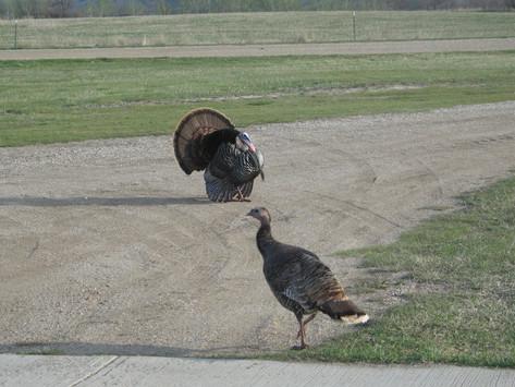 Wild Turkeys on the Prairie