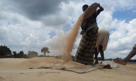A woman winnowing rice