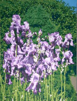 Jean's Irises - O/C -  32 x 24
