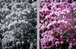 Rhododendrons - O/C - 48x72