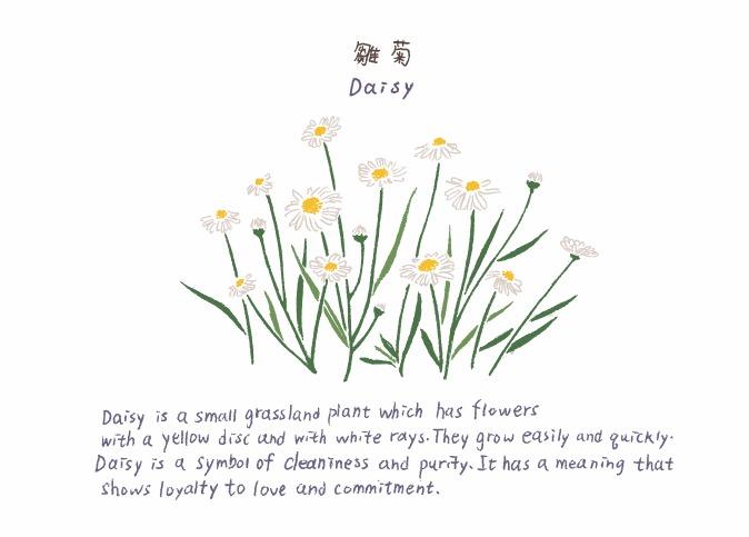 Daisy 雛菊