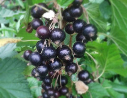 Blackcurrants.