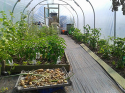 The polytunnel, first year.