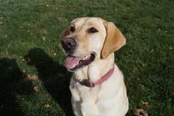 Labrador Retriever smiling